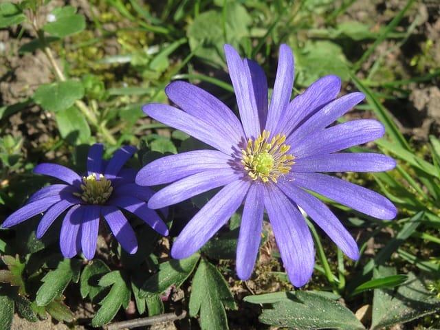 anemone-blanda-855284_640