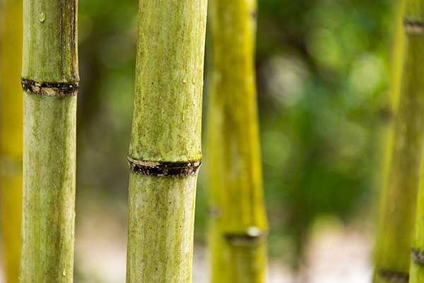 Invasive species: bamboo