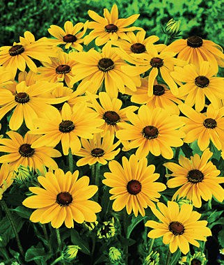 Rudbeckia hirta, 'Indian Summer' black-eyed Susan