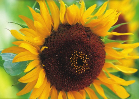 Helianthus annuus, 'Girasol Incredible' sunflower