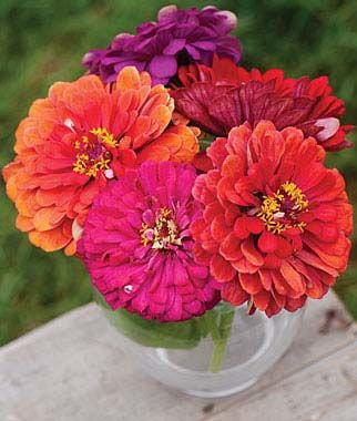 Zinnia elegans, 'State Fair' mix