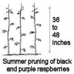 raspberry pruning diagram