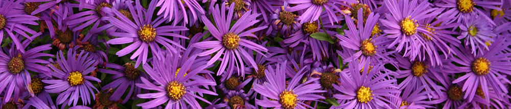 asters for pollinators