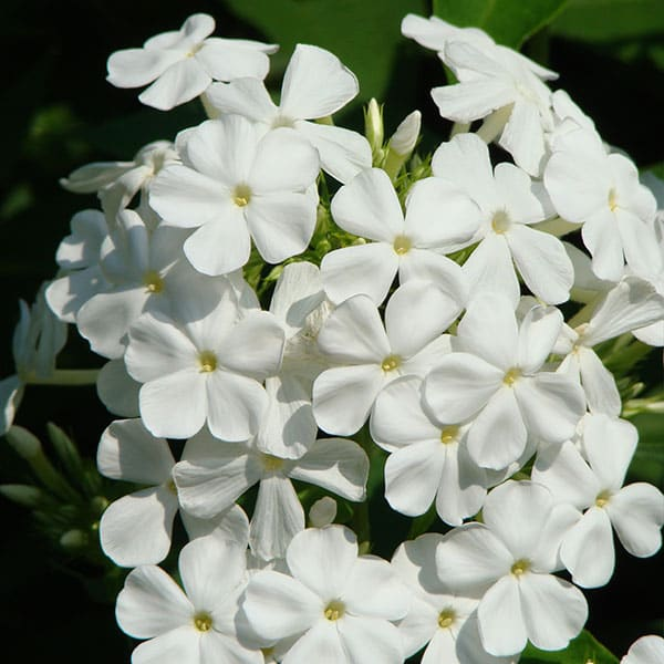 Phlox for pollinators