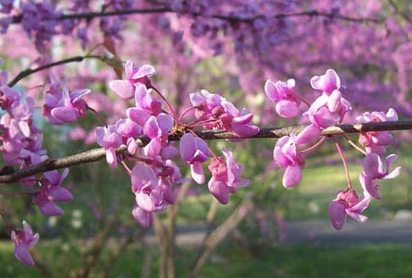 Eastern redbud for pollinators