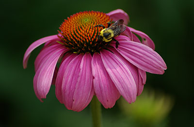 Coneflowers (Echinacea) are herbaceous, drought-tolerant, deer-resistant perennial plants growing up to 4 feet in height.