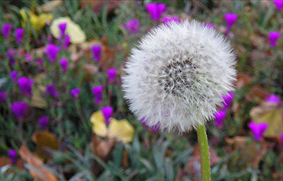 Fall is the best time to control broadleaf lawn weeds like dandelions.