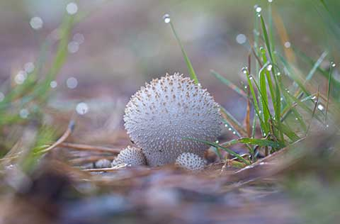 Break up mushrooms and puffballs on the lawn with a rake.
