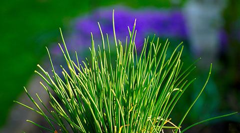 Dig up and pot up a clump of chives for indoor use all winter.
