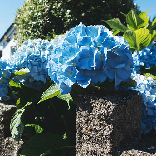Don't cut down hydrangeas with colored flowers or they won't bloom in the spring. You can cut off the flower heads for neatness.