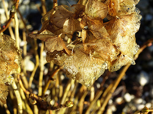 """Don't prune Hydrangea macrophylla in fall. Buds on many cultivars form on """"old"""" wood."""
