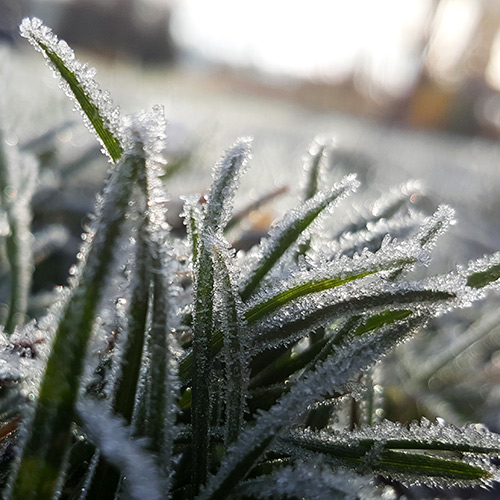 Frosted or frozen lawns should be off limits to foot and vehicle traffic.