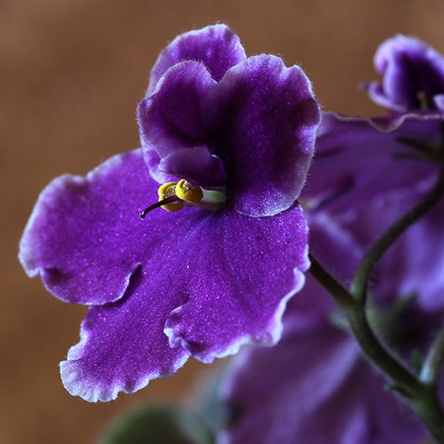 Low light and temperatures may reduce African violet flowering.