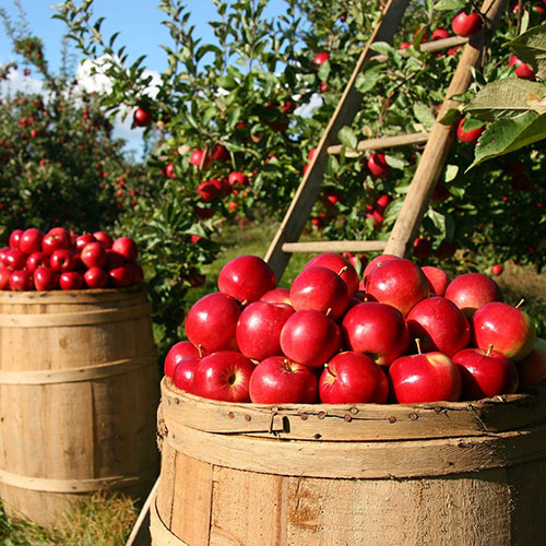 Ever wonder why one bad apple spoils the bunch? Overripe fruit gives off ethylene gas which hastens nearby fruit ripening.