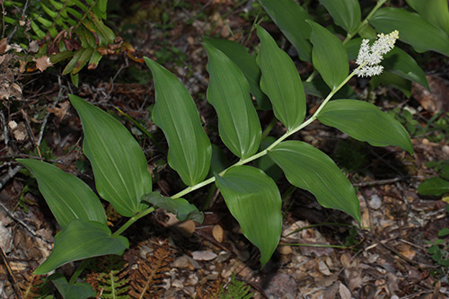 Starry false Solomon's seal (Maianthemum stellatum, syn. Smilacina stellate) is a rhizomatous perennial perfect for planting under deciduous trees.