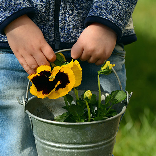 Start pansies indoors from seed.