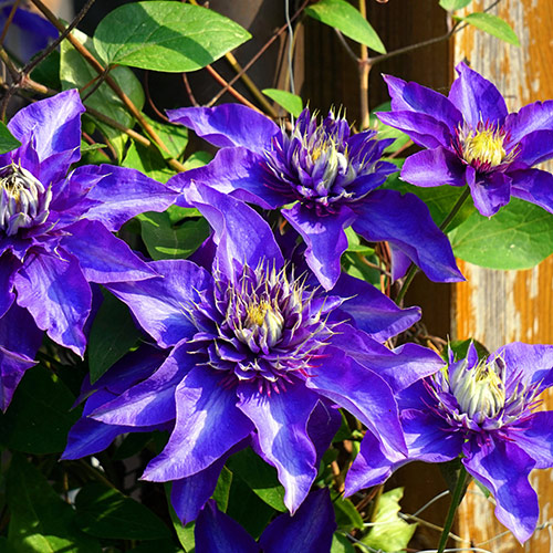 If planting a clematis in the garden this season is on your to-do list, consider waiting until early to mid-autumn.