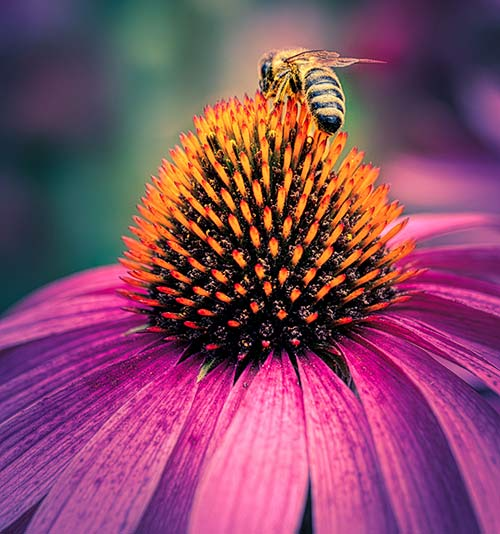 Purple coneflower (Echinacea spp.) makes a beautiful addition to the perennial garden.