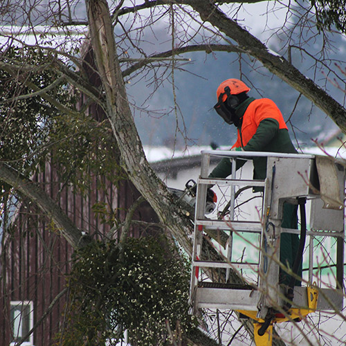 Use a certified professional arborist to prune large branches on mature trees.