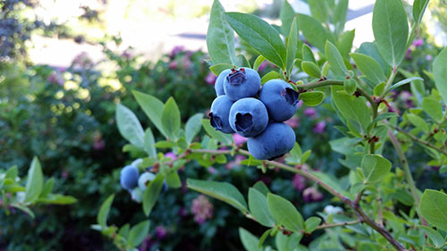Plant blueberries two feet apart to make a hedge, six feet apart for individual bushes.