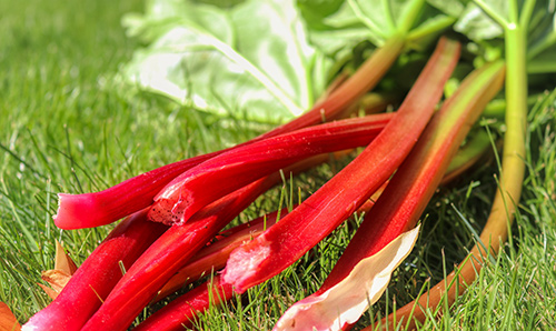 Harvest rhubarb by pulling stalks from the plant.