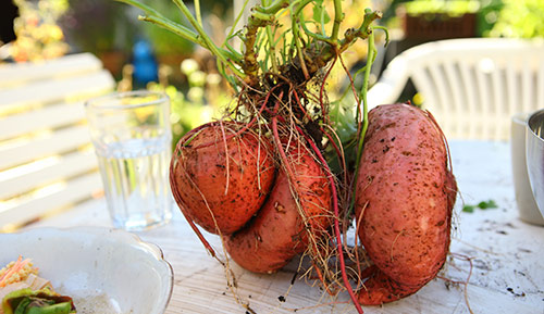Sweet potatoes need 90 to 150 frost-free days to yield a crop.