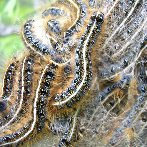 Forest and eastern tent caterpillars are sometimes confused for those of gypsy moth.