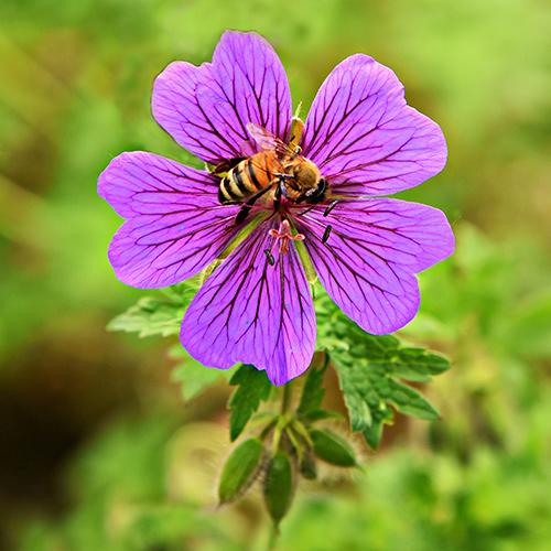 Various bee species are drawn to wild geranium (Geranium spp.).