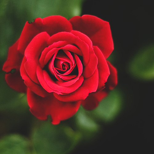 Plant a rose in memory of those who served the country.