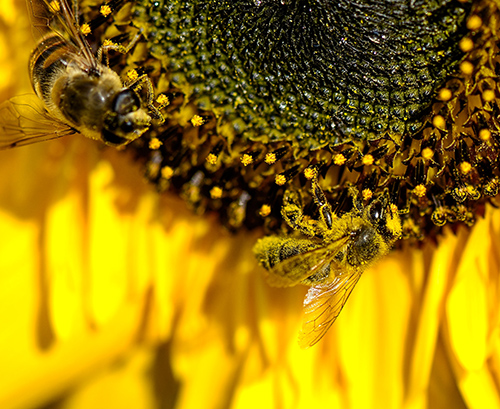 """When planting sunflowers in your garden this year, avoid """"pollenless"""" or double-petaled ornamental varieties. A large diversity of bees will be attracted to the pollen-producing sunflowers due to the high sugar concentration in their nectar. Reaching heights of up to 8', sunflowers grow in sun to partial shade and will bloom in late summer to autumn."""