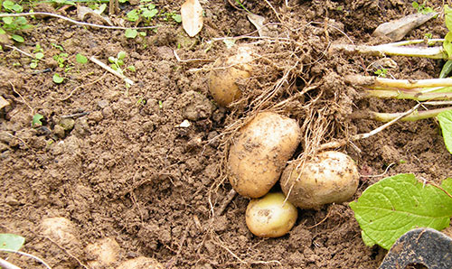 Dig potatoes as soon as leafy stems have died.