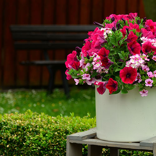 Container plants dry out much faster outdoors. Water often!