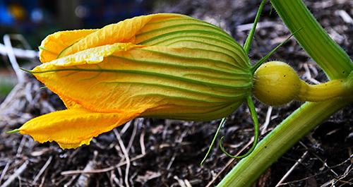 Pinch off new blooms on pumpkin vines to help existing fruit develop.