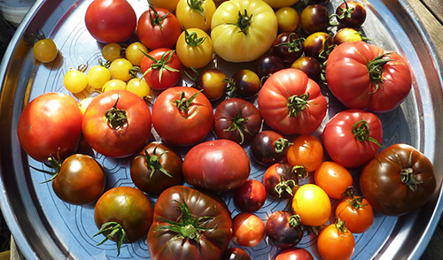 Pick ugly tomatoes early (half color) and ripen inside to avoid cracks and spots that rot.