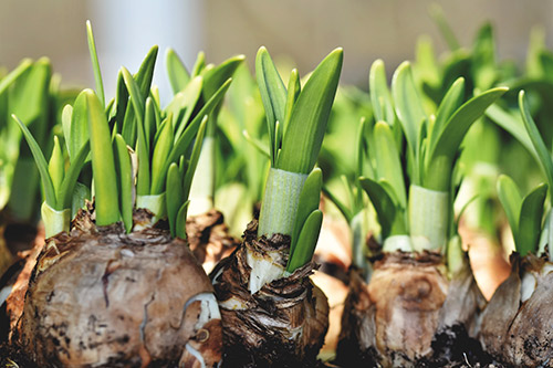 Large bulbs produce the best flowers since they have more stored food.
