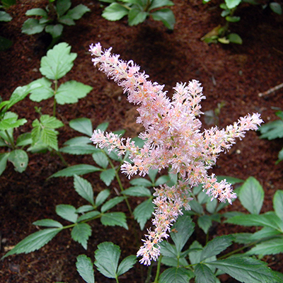 Plant astilbes in low, damp areas.