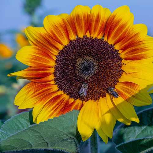If you have been admiring the beautiful sunflowers in bloom.