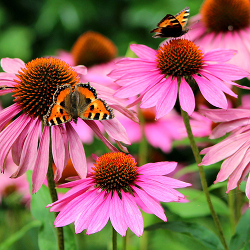 Deadhead Echinacea and heliopsis to keep them blooming.