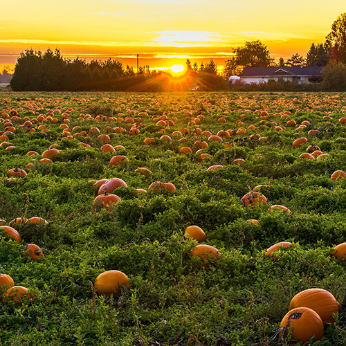 Visit a pick-your-own pumpkin patch and support a local farmer!